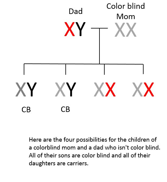 genetics the inheritance of color blindness Colour blindness is a usually a genetic (hereditary) the inheritance process is explained in more detail in the section inherited colour vision deficiency.