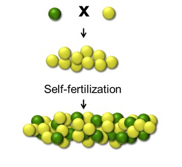 As You Can See When Mendel Bred A Purebred Plant With Green Peas To One Yellow All The Plants In Next Generation Had