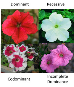 Incomplete Dominance In Flowers