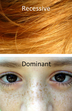 If we look at freckles, a broken MC1R allele leads to a dominant trait. But  if we look at red hair, the same allele leads to a recessive trait.